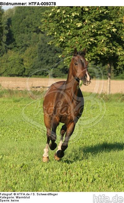 galoppierendes Warmblut / galloping warmblood / HTFA-009378