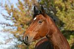 Holsteiner / holsteiner horse