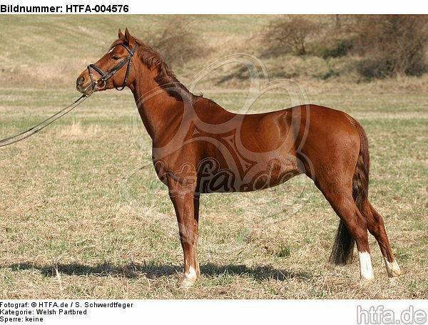 Welsh Partbred / HTFA-004576