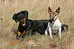 Dobermann und Jack Russell Terrier / doberman pinscher and jrt