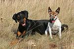 Dobermann und Jack Russell Terrier / doberman pinscher and jrt
