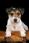 liegender Parson Russell Terrier / lying prt