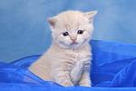 Britisch Kurzhaar K�tchen / british shorthair kitten