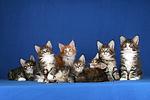 7 Maine Coon K�tzchen / 7 maine coon kitten