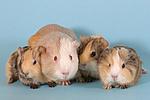 Glatthaarmeerschweine / smooth-haired guninea pigs