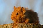 junges Texelmeerschwein / young guninea pig