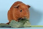 fressendes Englisch Crested Meerschwein / eating english crested guninea pig