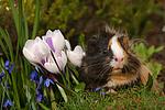 Sheltiemeerschwein / guninea pig