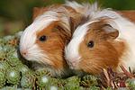 junge Sheltiemeerschweine / young guninea pigs