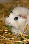 fressendes Rosettenmeerschwein / eating guninea pig