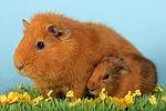 Rexmeerschwein mit Jungem / guninea pig with baby