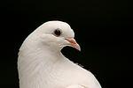Pfautaube Portrait / fantail pigeon portrait