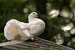 Pfautaube auf dem Dach / fantail pigeon on the roof