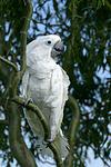 Kakadu / cockatoo