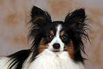 Papillon Portrait