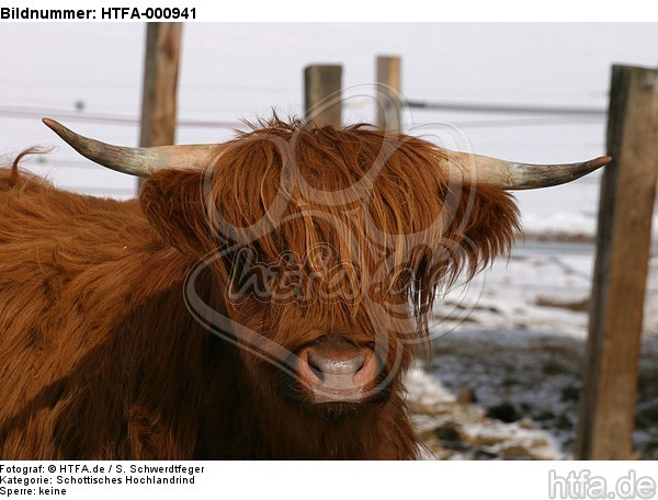 Schottisches Hochlandrind im Winter / highland cattle in winter / HTFA-000941