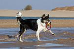 spielender Border Collie am Strand / playing Border Collie at beach