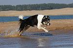 rennender Border Collie am Strand / running Border Collie at beach