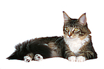 liegende Maine Coon / lying maine coon