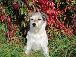 sitzender Parson Russell Terrier / sitting PRT