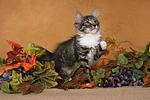 sitzendes Norwegisches Waldk�tzchen / sitting Norwegian Forestcat kitten