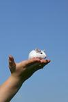 Farbratte auf der Hand / rat on hand