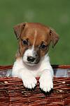 Jack Russell Terrier Welpe / jack russell terrier puppy