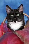 Norwegisches Waldk�tzchen Portrait / Norwegian Forestcat kitten portrait