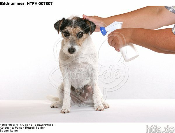 Parson Russell Terrier / HTFA-007807