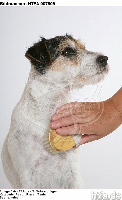 Parson Russell Terrier / HTFA-007809