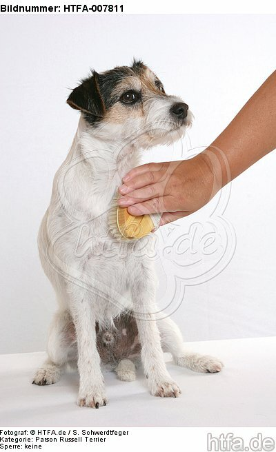 Parson Russell Terrier / HTFA-007811