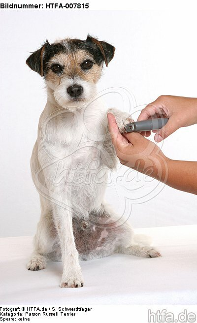 Parson Russell Terrier / HTFA-007815