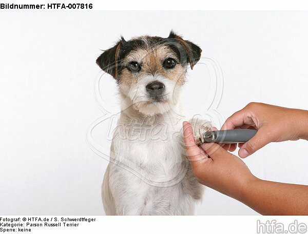 Parson Russell Terrier / HTFA-007816