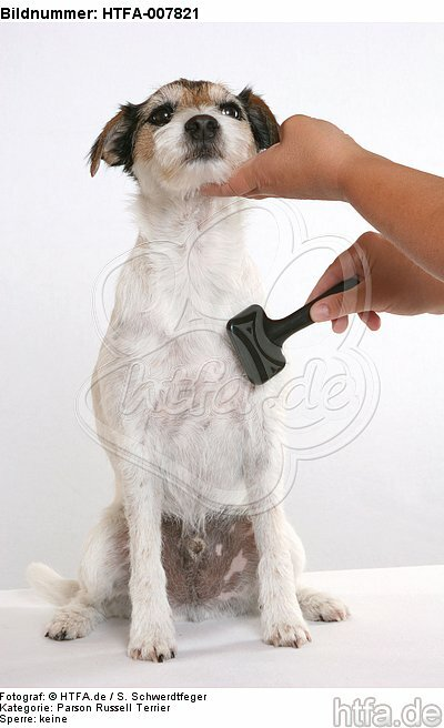 Parson Russell Terrier / HTFA-007821