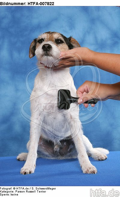 Parson Russell Terrier / HTFA-007822