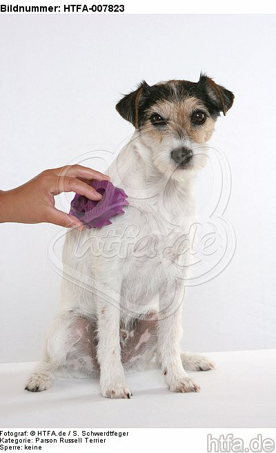Parson Russell Terrier / HTFA-007823