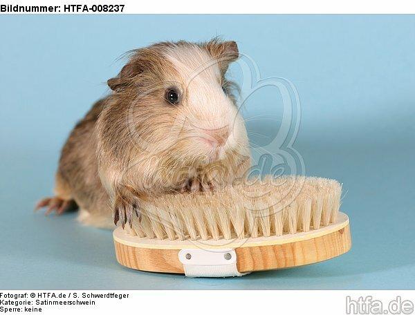 Satinmeerschwein / guninea pig / HTFA-008237
