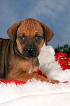 Rhodesian Ridgeback Welpe / rhodesian ridgeback puppy