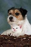 Parson Russell Terrier und K�tzchen / parson russell terrier and kitten