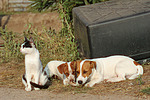 Jack Russell Terrier und Katze / jack russell terriers and cat