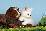 K�tzchen und Meerschwein / kitten and guninea pig
