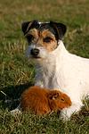 Parson Russell Terrier und Rexmeerschwein / prt and guninea pig