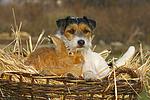 Parson Russell Terrier und Zwergkaninchen / prt and dwarf rabbit