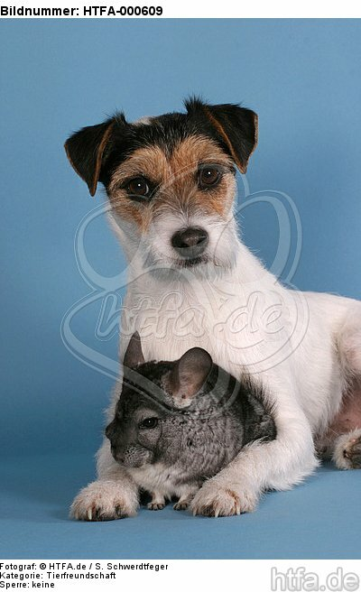 Parson Russell Terrier und Chinchilla / prt and chinchilla / HTFA-000609