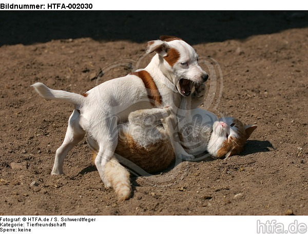 Jack Russell Terrier und Katze / jack russell terrier and cat / HTFA-002030