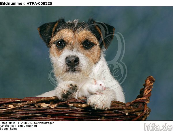 Parson Russell Terrier und Maus / dog and mouse / HTFA-008325