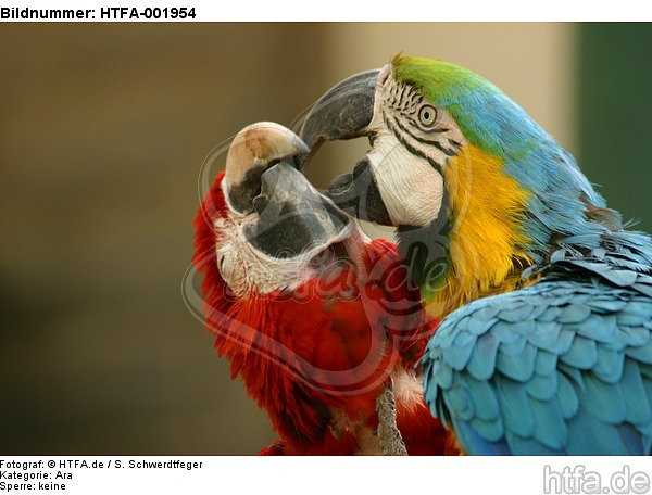 Aras / macaws / HTFA-001954