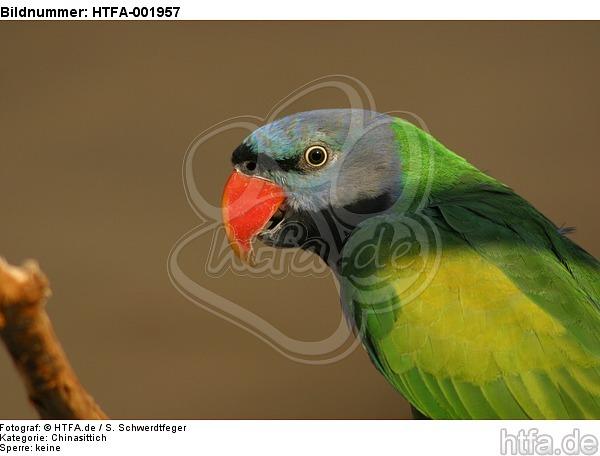 Chinasittich / Derbyan parakeet / HTFA-001957