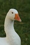 Gans / goose