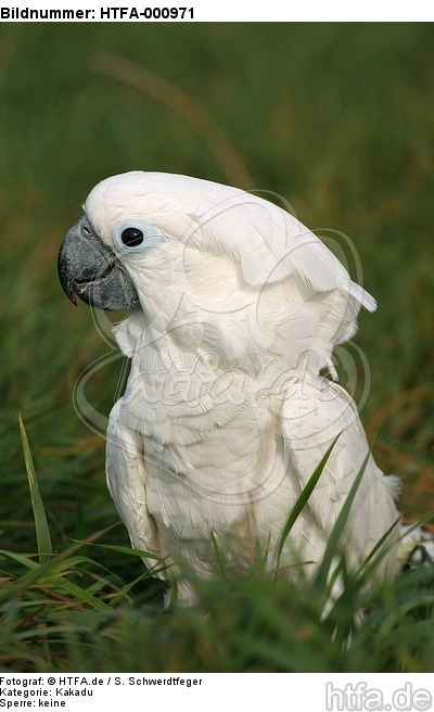 Kakadu im Gras / cockatoo in grass / HTFA-000971